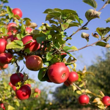 branch of apple tree