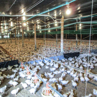 young chicken on poultry farm